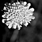 Blanched Bloom by Simone Bazley