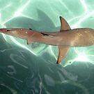 Black Tipped Reef Shark by barryohara1
