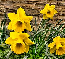 Daffodils by Dave Warren