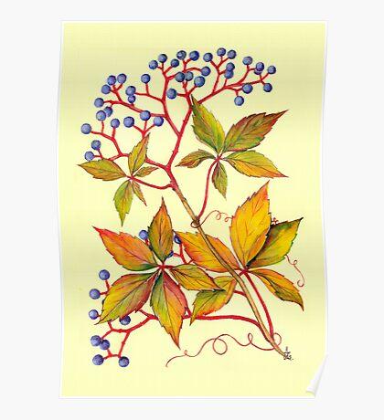 Virginia Creeper - Parthenocissus quinquefolia Poster