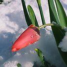 Sheltering Tulip by Mark Wilson