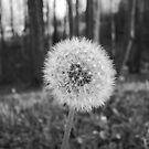 Dandelions IV by Allison Floyd