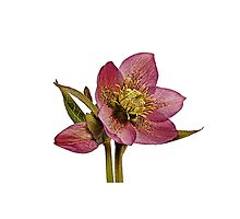 Helleborus orientalis - White Background by ipgphotography