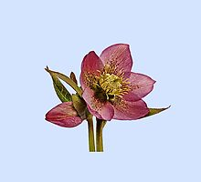 Helleborus orientalis - Blue Background by ipgphotography