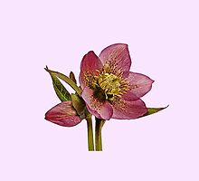 Helleborus orientalis - Pink Background by ipgphotography