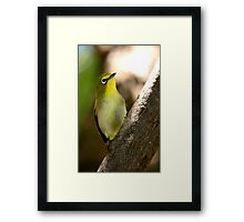 South African Bird (Cape White-eye, Zosterops pallidus) Framed Print