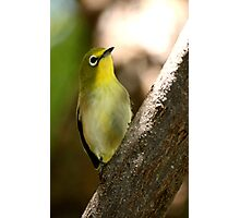 South African Bird (Cape White-eye, Zosterops pallidus) Photographic Print