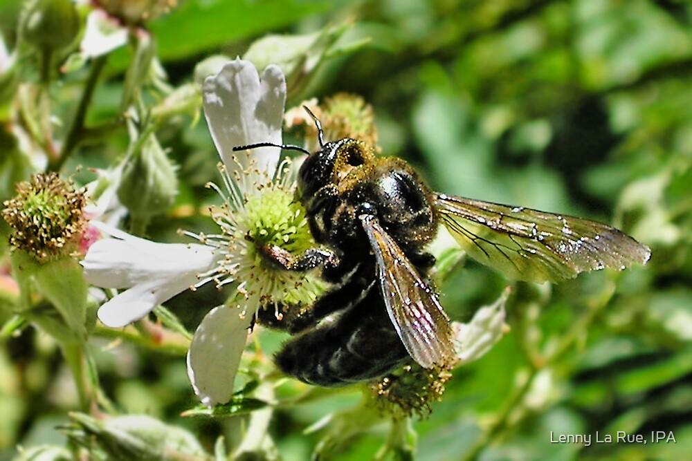 big black bumble bee by Lenny La Rue, IPA