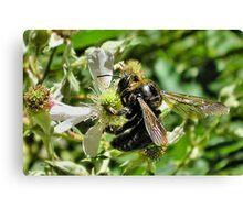 big black bumble bee Canvas Print