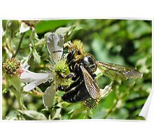 big black bumble bee Poster