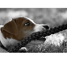 Jack and the rope... (Jack Russel)  Photographic Print