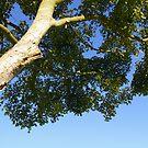 Tall tree by Nixter