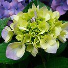 Green Hydrangea by Catherine Davis