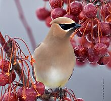 Second Cedar Waxwing by Yannik Hay