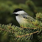 Black-Capped Chickadee  by Yannik Hay