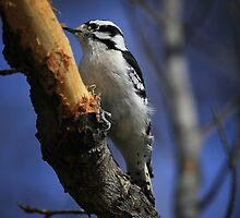 Downy Woodpecker by Yannik Hay