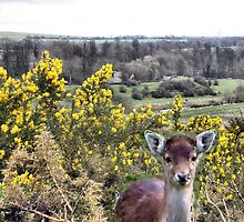Little deer's head in gorse bush by hilarydougill