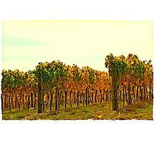 Postcard Vineyard Photographic Print