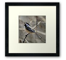 Black-capped Chickadee Waiting for Food Framed Print