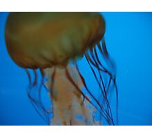 Blue Jelly stinger Photographic Print