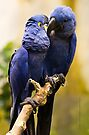 Love Is In The Air (macaws) by Yannik Hay