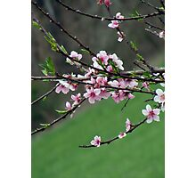 peach blooms Photographic Print