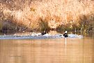Hooded Merganser Couple Landing - Harle couronné - Parc National Mont Tremblant by Yannik Hay