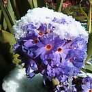 Melting Snow On a Drumstick Primula by ssalt