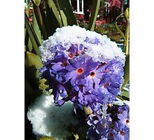 Melting Snow On a Drumstick Primula Photographic Print