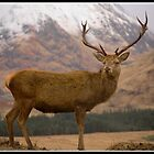 Glen Etive Stag by richd832