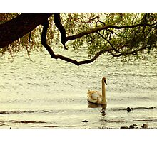 Cygnet Photographic Print
