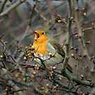 Singing Red Robin by Mark Andrew Turner