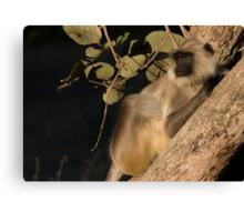 Langur Monkey Relaxes Canvas Print