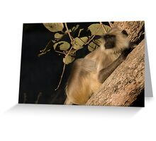 Langur Monkey Relaxes Greeting Card
