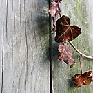 Dead Ivy and Fence Post by marybedy