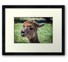 Adorable Alpaca Framed Print
