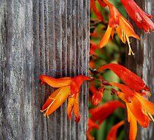 colour thru the fence by Lenny La Rue, IPA