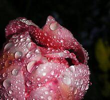 Tulip by maggiebarra