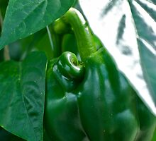 Mutant Pepper by Amy Dokken
