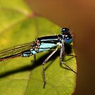 Bluetail at Sunset II by Lesley Smitheringale