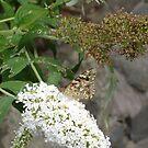 butterfly 1 by flower7027