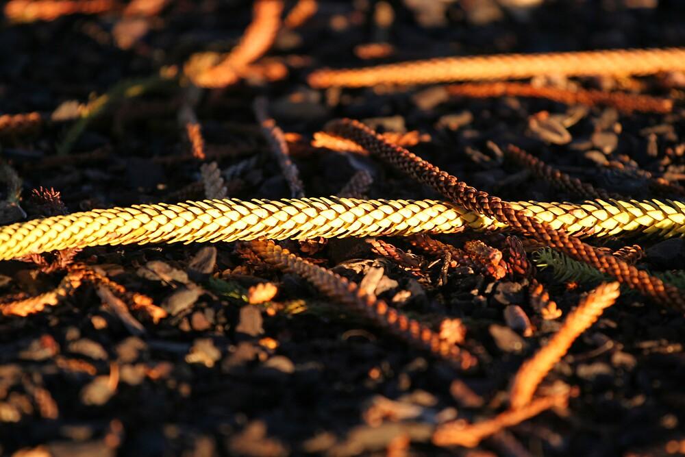 Norfolk Pine needles in the evening sun by Martin Pot