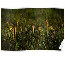 Pitcher Plants Poster