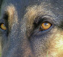 Alsatian German Shepherd Eye by Lisa Anne McKee