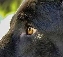 Alsatian German Shepherd Black eye by Lisa Anne McKee