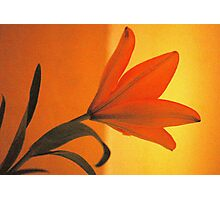 THE LILIUM - Liliaceae Photographic Print