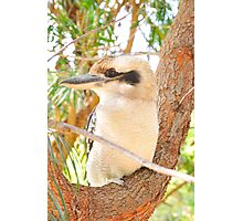 Fluffy Says Thank You for the views and shows his Left Profile - Kookaburra, Syney Australia Photographic Print