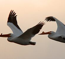 American White Pelicans in  Flight by Ryan Houston