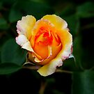 Shiny rose by TriciaDanby