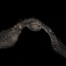 Tawney Frogmouth 2 by Ken Boxsell